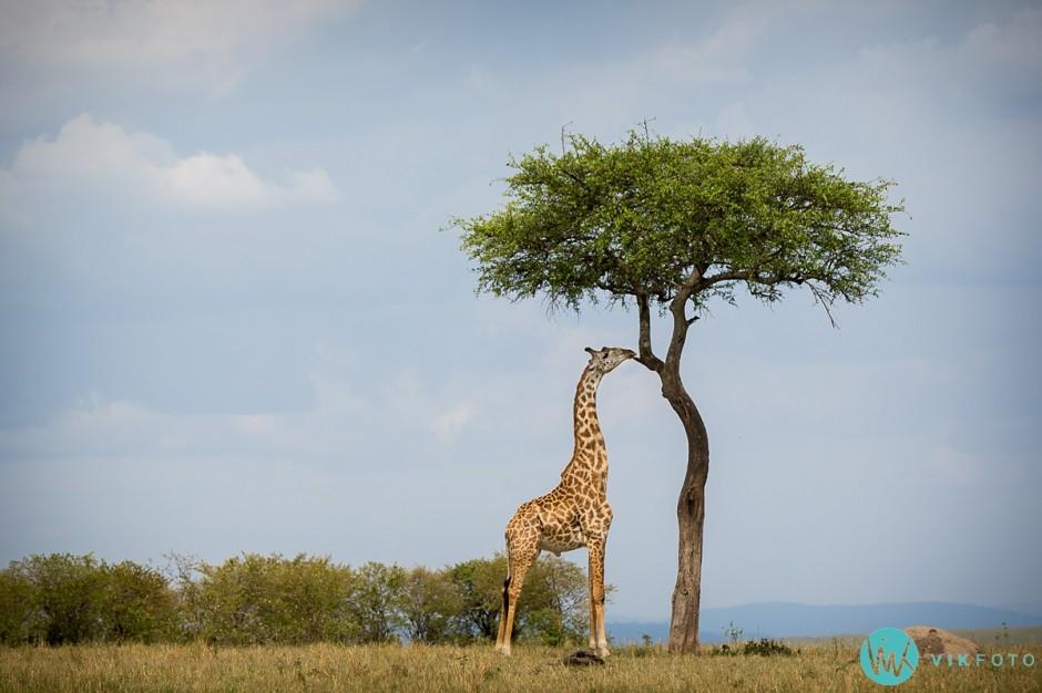 giraffen-kåre